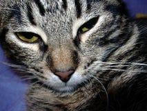 pensionär y för stående för kuzia o för 12 katt Royaltyfria Bilder