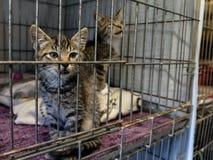 pensionär y för stående för kuzia o för 12 katt Royaltyfri Foto