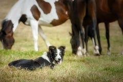 PensionärBorder collie hund som vilar att ligga på gräset, når att ha kört med dess flock av hästar royaltyfri fotografi