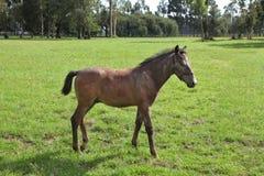 Pension for Arabian horses Stock Image