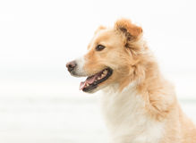 Pensionair Collie Happy Dog Stock Foto