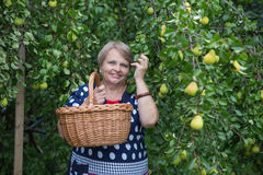 Pensioner woman under pear tree with basket Stock Photos