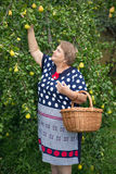 Pensioner woman under pear tree with basket Royalty Free Stock Photos