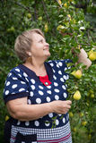 Pensioner woman under pear tree Royalty Free Stock Photography