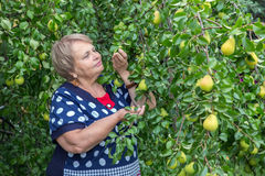 Pensioner woman under pear tree Stock Photo