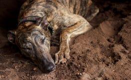 Pensionierter Windhund, der ein Schlaefchen hält Stockbilder