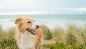 Pensionista Collie Happy Dog Imagem de Stock Royalty Free