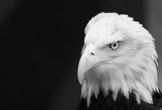 Pensive Bald Eagle Royalty Free Stock Photography