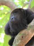 Pensive Black Howler Monkey Stock Photo