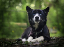 pensive blue-eyed Siberian Husky black suit Stock Photography