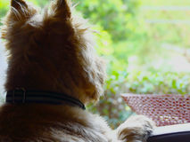Pensive Cairn Terrier. A Cairn terrier pears out the window in anticipation awaiting his owners return Stock Images