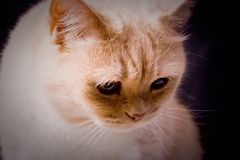 The pensive cat Royalty Free Stock Image
