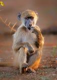 Pensive Chacma Baboon. Royalty Free Stock Photography