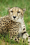 Pensive cheetah. A portrait of a pensive cheetah staring Stock Images