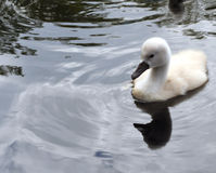 Pensive Cygnet. One cygnet, alone stock image