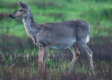 Pensive Deer Stock Photography