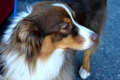 Pensive dog Royalty Free Stock Images