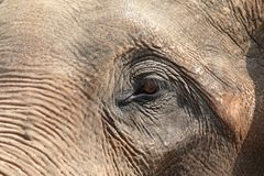 Sad elephant eye elephant close up. Pensive elephant look on a Sunny day royalty free stock image