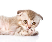 Pensive flap-eared kitten.  on white background Royalty Free Stock Photography