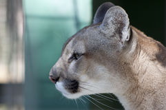 Pensive Florida Panther. Close up profile view of the head and face of a Florida Panther staring into the distance. Shot against a slightly mottled green and Royalty Free Stock Images