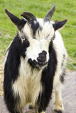 Pensive Goat Royalty Free Stock Photo