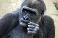 Pensive Gorilla. Contemplative Gorilla with intensity chewing straw Stock Photography