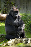 Pensive gorilla royalty free stock images