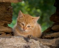 Pensive kitten. Red kitten sitting in a tree Stock Photography