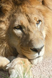 Pensive lion. A close-up of a lion in a pensive state Royalty Free Stock Image