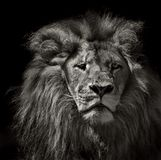 Pensive lion in black and white. Pensive lion isolated on black stock image