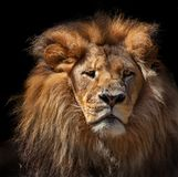 Pensive lion against black background. Pensive lion isolated on black royalty free stock photo