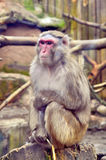 Pensive monkey Royalty Free Stock Photography