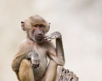 Young Baboon. Young juvenile male baboon lost in thought royalty free stock photography