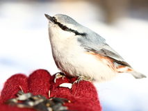 Pensive nuthatch Stock Photo