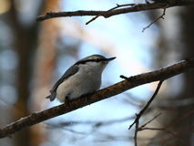 Pensive nuthatch Royalty Free Stock Image