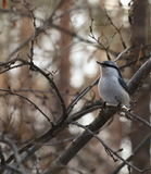 Pensive nuthatch Stock Photos