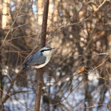 Pensive nuthatch Stock Images