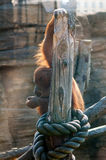 Pensive orangutan. Orangutan holding a wooden post, sitting in deep thoughts Stock Image