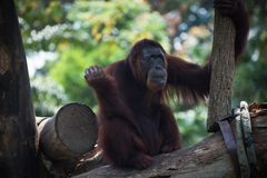Pensive primate looks up. Smiling orangutan sits alone on the tree royalty free stock photos
