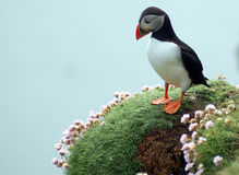 Pensive Puffin Royalty Free Stock Photos