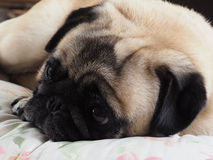 Pensive Pug stock photos
