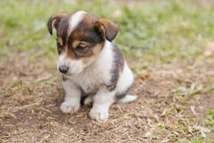Pensive puppy of two months of age. He sits on the dry grass. stock images