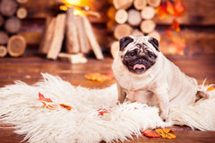 Pensive sad beige pug sitting on furs Stock Image