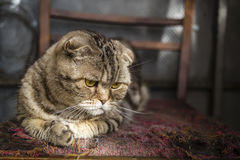 Pensive striped Scottish Fold cat Royalty Free Stock Photography