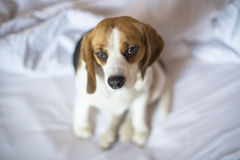 Pensive tricolor beagle dog sitting on unmade bed Royalty Free Stock Photography