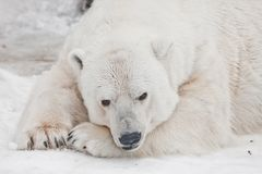 Pensively liggend met zijn gezicht op zijn poten, die zijn ogen openen De krachtige ijsbeer ligt in de sneeuw, close-up stock foto's