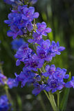 Penstemon cyananthus royalty free stock image