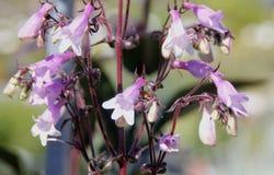 Penstemon heterophyllus 'Margarita BOP', Blue Bedder Royalty Free Stock Image