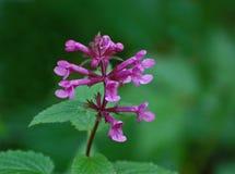 Penstemon 'Hidcote Pink'Wildflowers Stock Photos