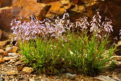 Penstemon hirsutus Obrazy Stock